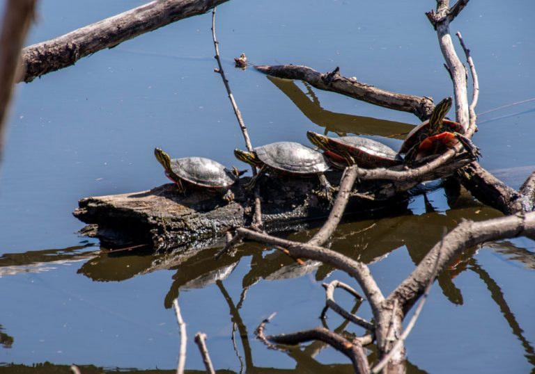 Turtles Sunning On Log in lake